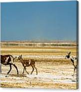 Three Goats In A Desert Canvas Print