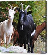 Three Goats Canvas Print
