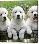 Three Golden Retriever Puppies Canvas Print