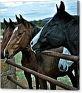 Three Horses Waiting For Carrots Canvas Print