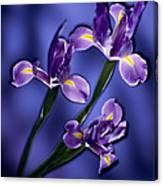 Three Iris Xiphium Canvas Print