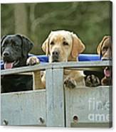 Three Kinds Of Labradors Canvas Print