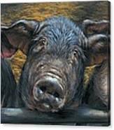Three Little Piglets Canvas Print