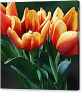 Three Orange And Red Tulips Canvas Print