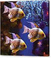 Three Pajama Cardinal Fish Canvas Print
