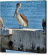 Three Pelicans Canvas Print