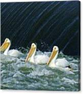 Three Pelicans Hanging Out  Canvas Print