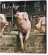 Three Pigs Having A Chat In A Remote Canvas Print