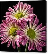 Three Pink Flowers Canvas Print
