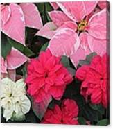Three Pink Poinsettias Canvas Print