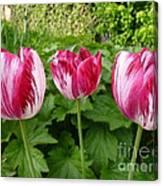 Three Pink Rembrandt Tulips Canvas Print