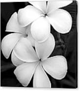 Three Plumeria Flowers In Black And White Canvas Print