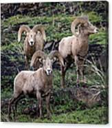 Three Rams Canvas Print