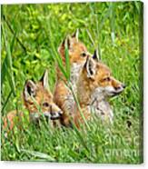 Three Red Fox Pups Canvas Print