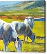 Three Sheep On A Devon Cliff Top Canvas Print