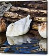 Three Sleeping Ducks Canvas Print