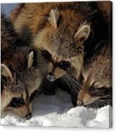 Three Sweet Raccoons Canvas Print