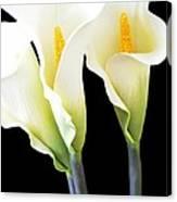 Three Tall Calla Lilies Canvas Print
