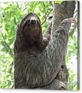 Three Toed Sloth  Canvas Print