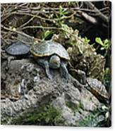 Three Turtles Canvas Print