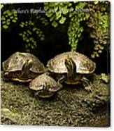 Three Turtles Canvas Print