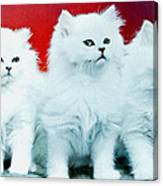 Three White Cats Canvas Print