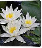 Three White Waterlilies Canvas Print