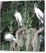 Three Wood Storks Canvas Print