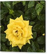 Three Yellow Roses In Rain Canvas Print