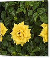 Three Yellow Roses Canvas Print