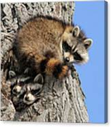 Three Young Raccoons Canvas Print