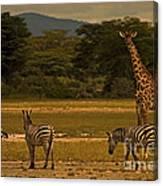 Three Zebras And A Giraffe Canvas Print