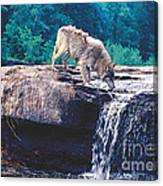 Thristy Wolf Canvas Print