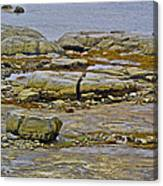Thrombolites Up Close In Flower's Cove-nl Canvas Print