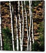 Through The Aspens Canvas Print