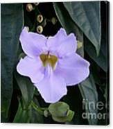 Thunbergia Canvas Print