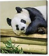 Tian Tian The Giant Panda Canvas Print