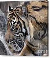 Sumatran Tiger-5418 Canvas Print