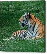 Tiger At Rest 1 Canvas Print