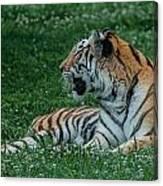 Tiger At Rest 4 Canvas Print