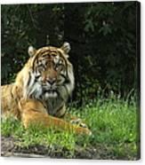 Tiger At Rest Canvas Print