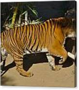 Tiger Beat Canvas Print