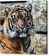 Tiger Facing The Crowd Canvas Print