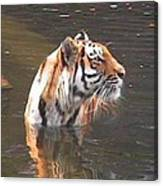 Tiger Getting Wet Canvas Print