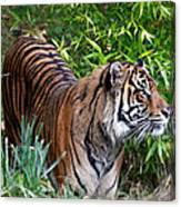 Tiger In The Vast Jungles Canvas Print