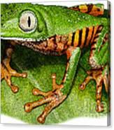 Tiger-legged Monkey Frog Canvas Print