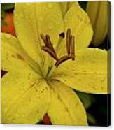 Tiger Lilly Shower Canvas Print