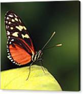 Tiger Longwing Canvas Print