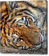 Tiger Nap Time Canvas Print