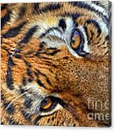 Tiger Peepers Canvas Print